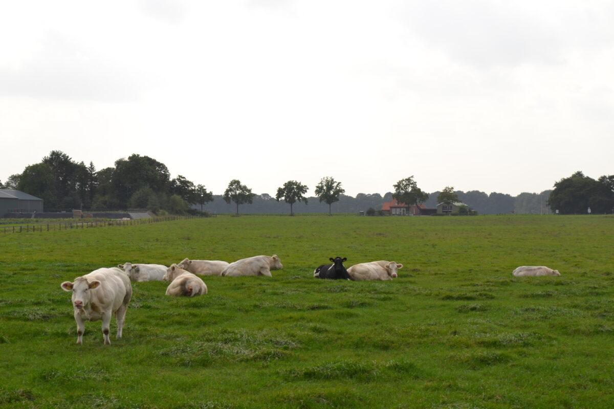 Blog: het biologische rundvlees van Slagerij Bührs